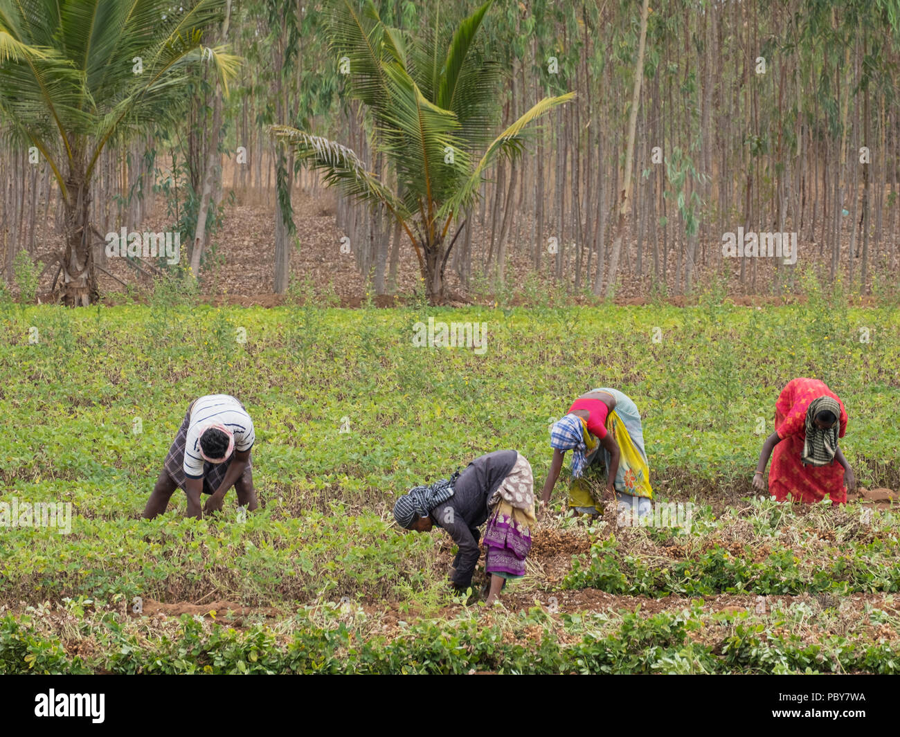 Thanjavur, India - March 13, 2018: Agricultural workers harvesting a crop of groundnuts ( Arachis hypogaea ) in the southern Indian state - Stock Image