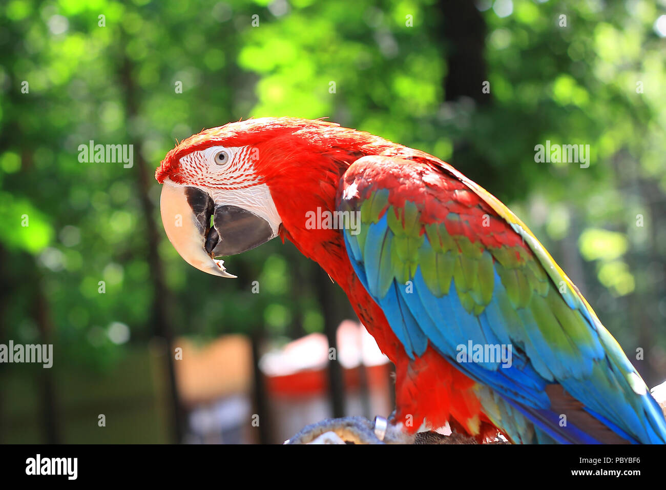 close up. parrot macaw sitting on a branch - Stock Image