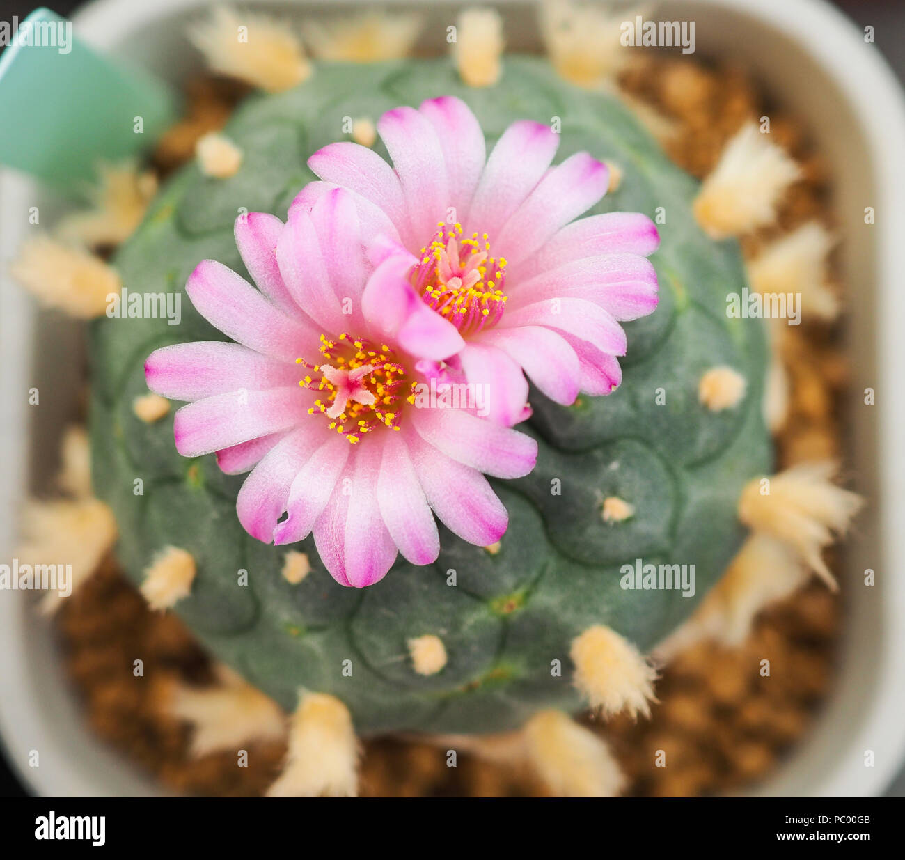 Beautiful Pink Flower Of Cactus In The Small Pot Plant For