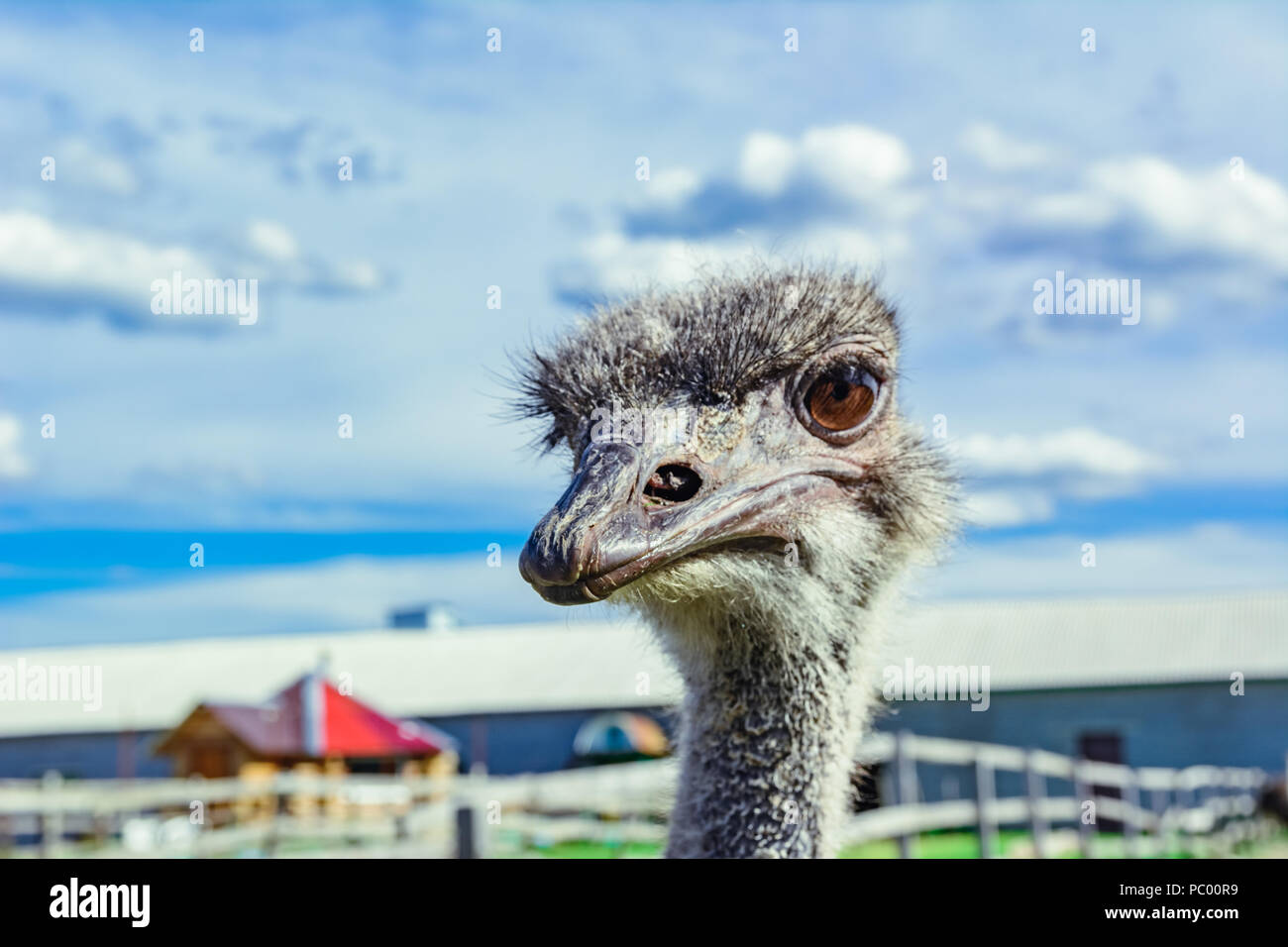 Ostrich in a farm with green grass and blue sky looking through fence Stock Photo