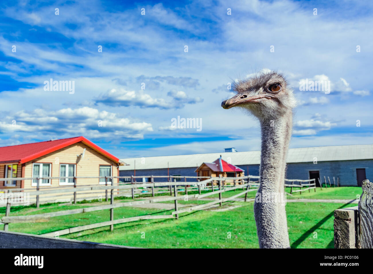 Ostrich in a farm with green grass and blue sky looking through fence - Stock Image