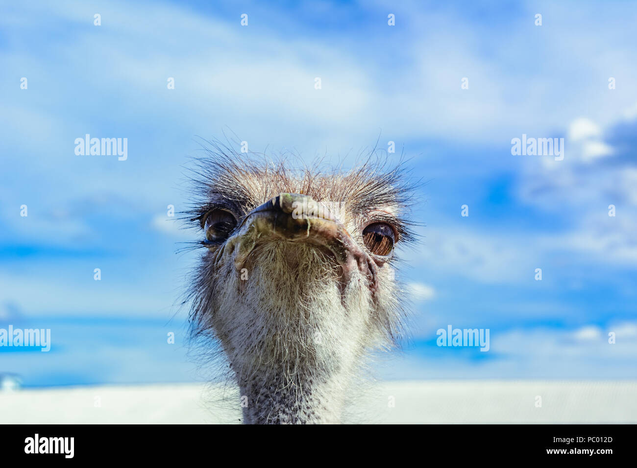 Ostrich in a farm on a background of blue sky looking at you - Stock Image