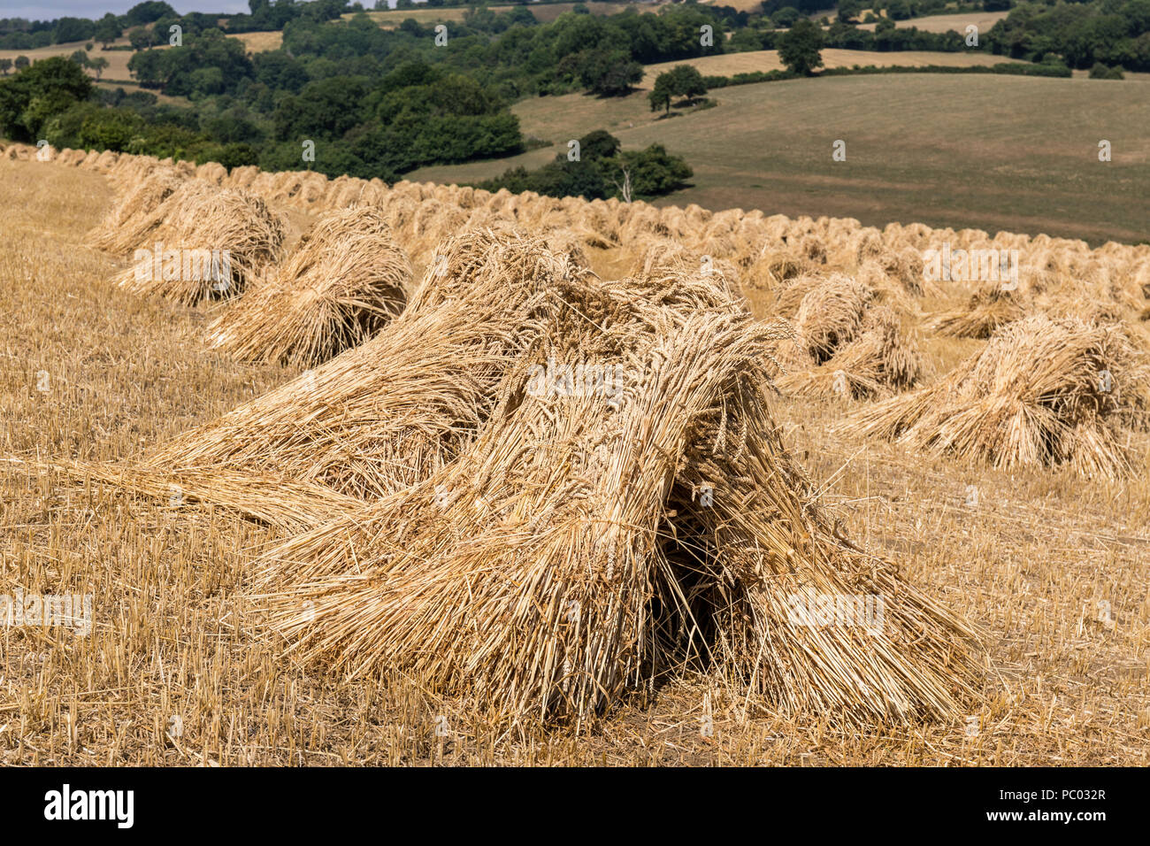 A field of stooks nr Colerne, Wiltshire, England - Stock Image