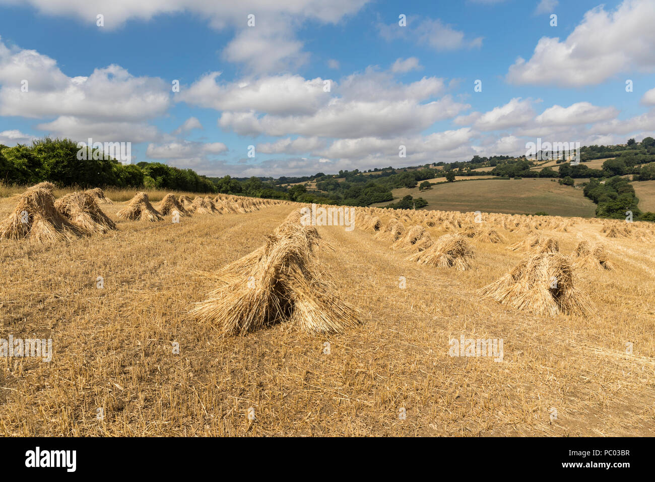 A field of stooks nr Colerne, Wiltshire, England Stock Photo