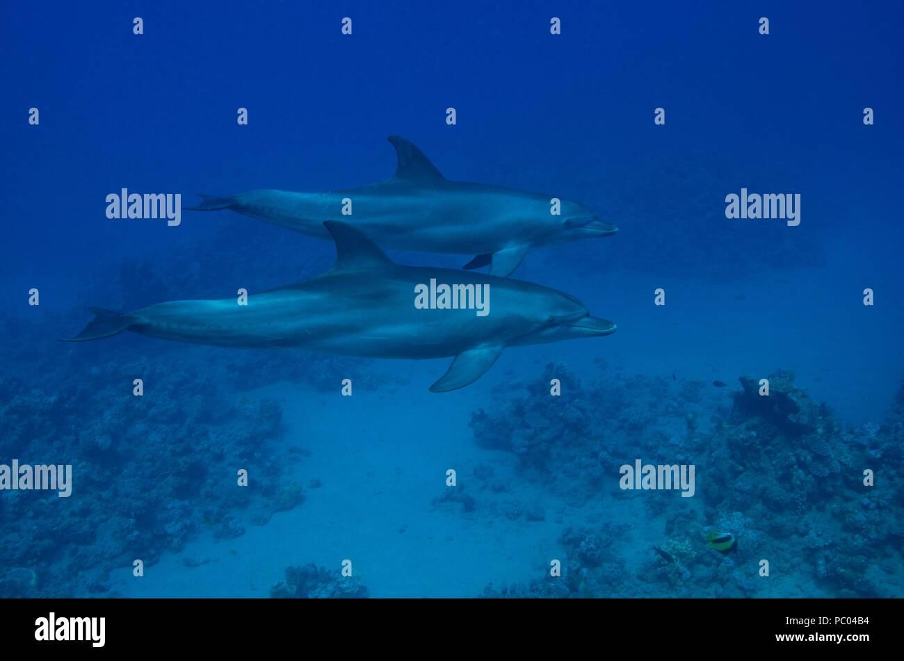 Indo-Pacific bottlenose dolphin, Indopazifischer Großer Tümmler, Tursiops aduncus, Coraya Beach, Marsa Alam, Egypt, Ägypten, Red Sea, Rotes Meer - Stock Image