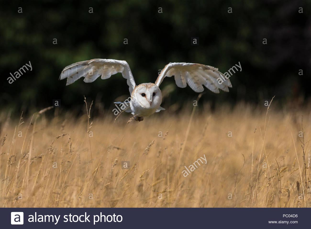 Barn owl (Tyto alba), captive, Cumbria, UK - Stock Image