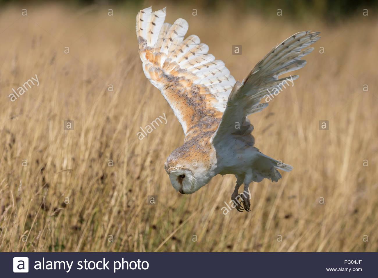 Barn owl (Tyto alba), captive, Cumbria, UK, - Stock Image