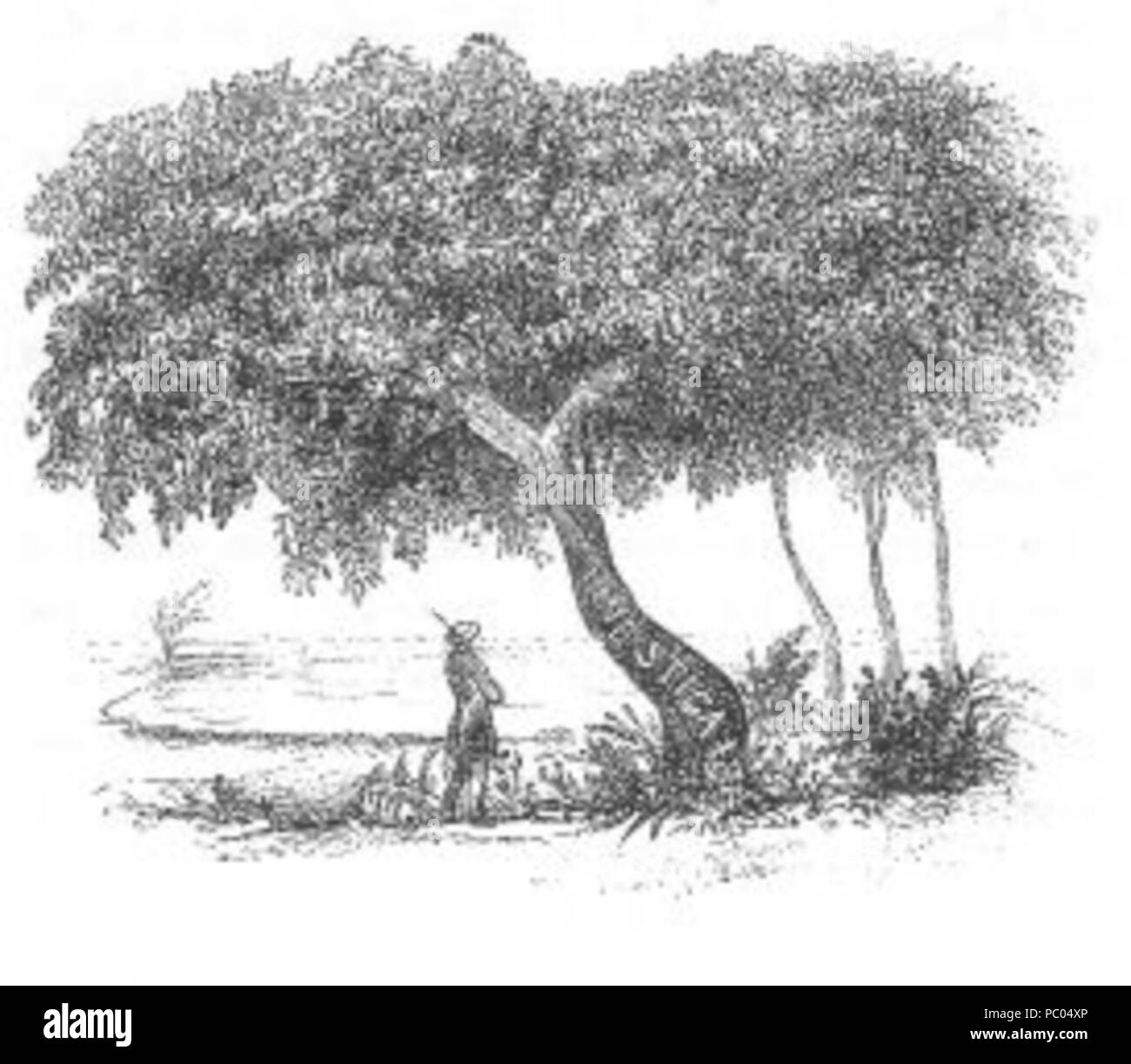 298 Interesting Tree (Discoveries in Australia) - Stock Image