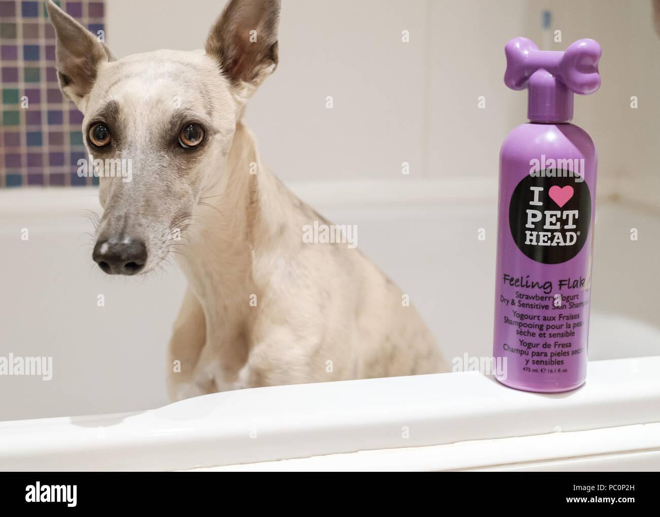 Brindle whippet dog in bath with bottle of dog shampoo Stock Photo