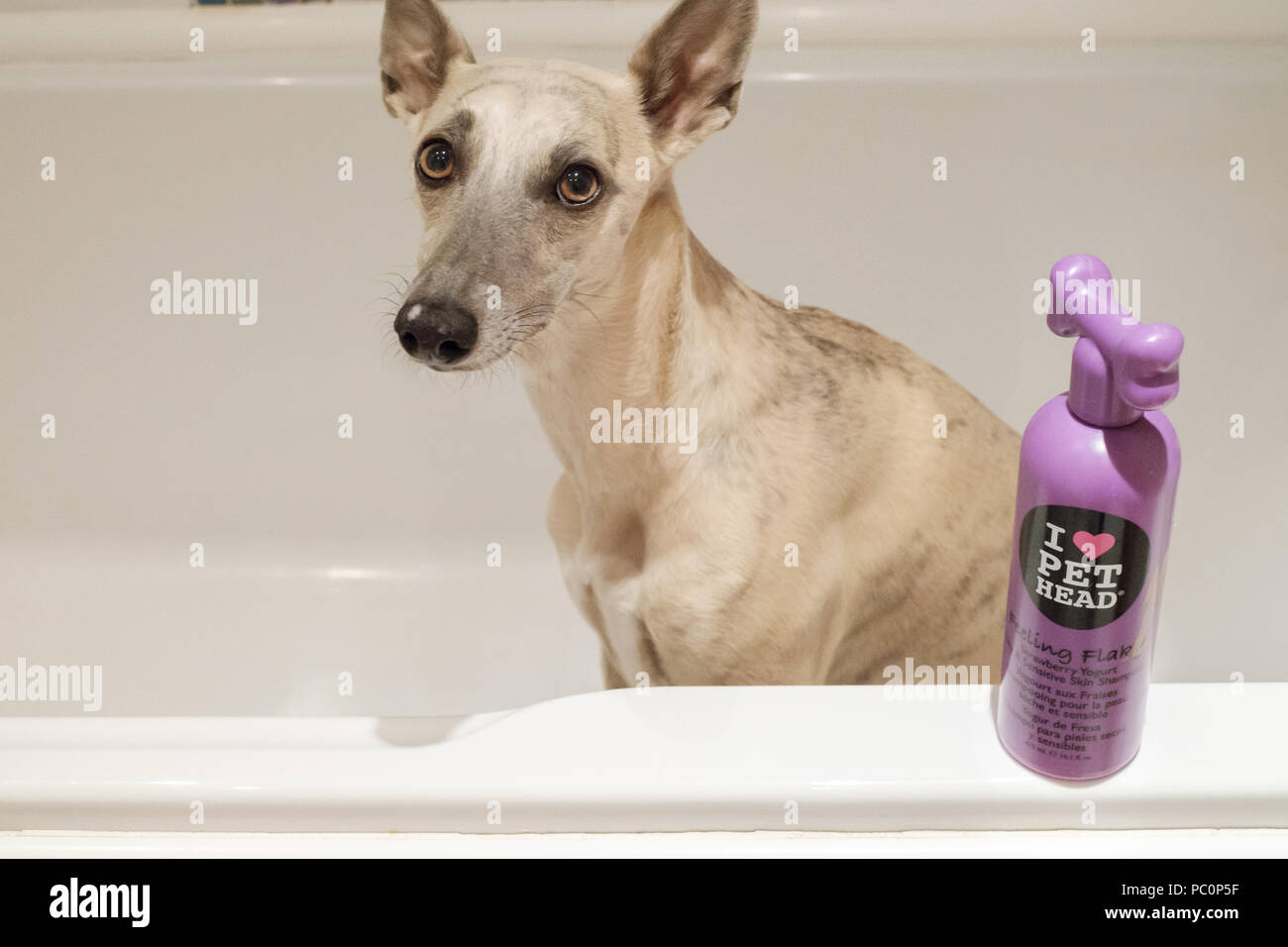 Brindle whippet dog in bath with bottle of dog shampoo Stock Photo