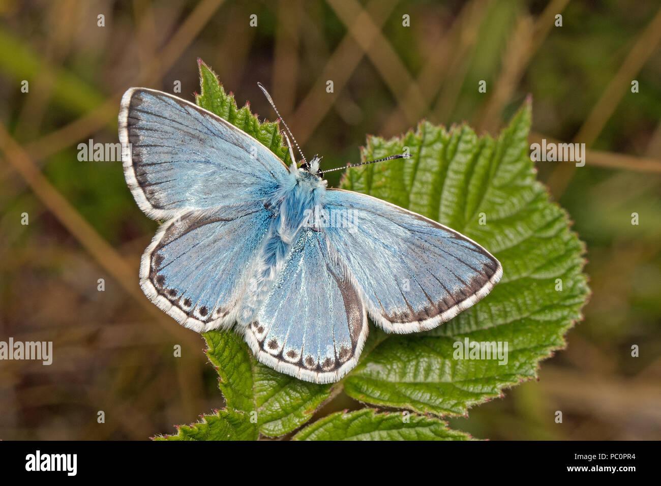 Male Chalkhill Blue butterfly (Polyommatus coridon), Cambridgeshire, England - Stock Image
