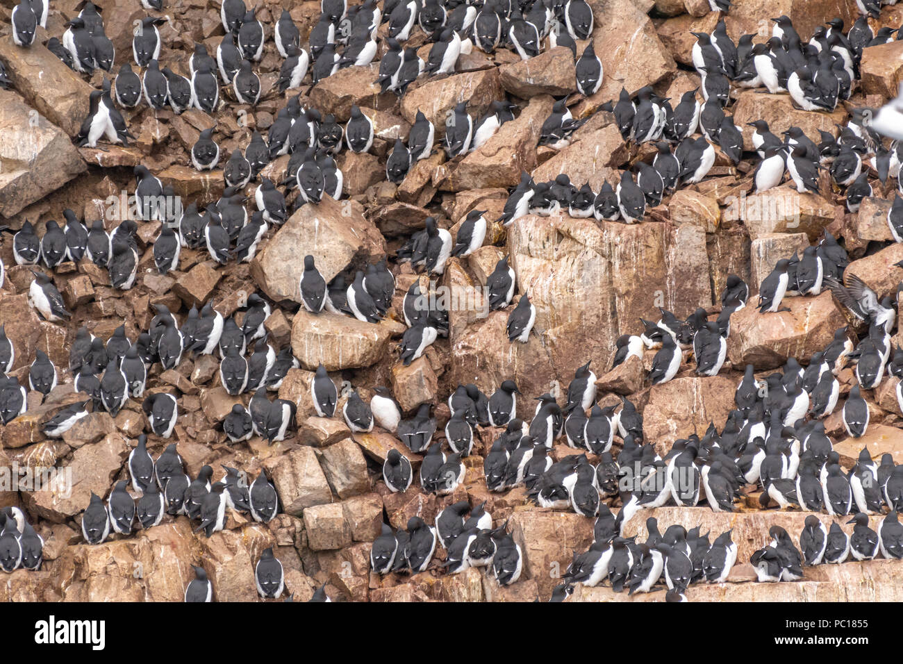Brünnich's guillemots(Uria lomvia) also known as thick-billed murres on their nesting grounds on the cliff at Alkefjellet in the Svalbard archipelago. Stock Photo