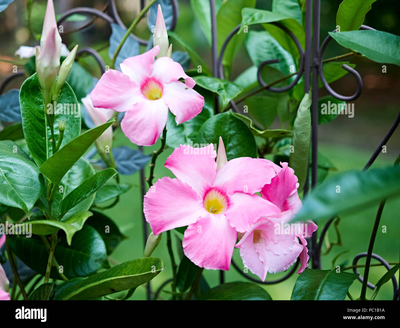Climbing Flowering Vine Stock Photos Climbing Flowering Vine Stock