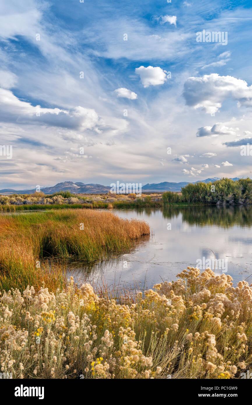Rabbitbrush, Ericameria nauseosa, Wetlands, Mono Basin National Forest Scenic Area, Eastern Sierra, Inyo National Forest, California - Stock Image