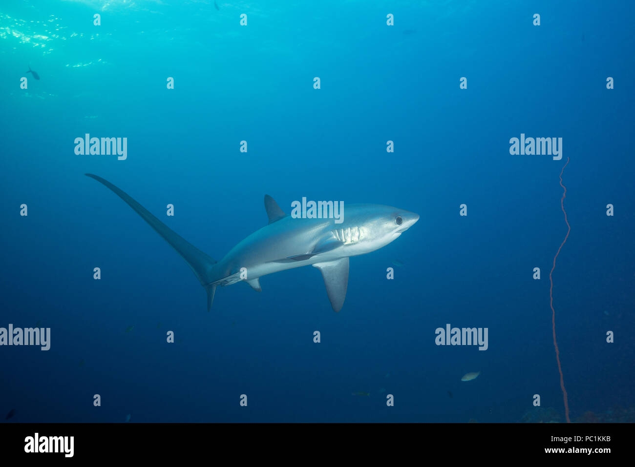 male pelagic thresher shark or fox shark, Alopias pelagicus, Monad Shoal, off Malapascua, Cebu, Philippines  ( Visayan Sea, Western Pacific Ocean ) Stock Photo