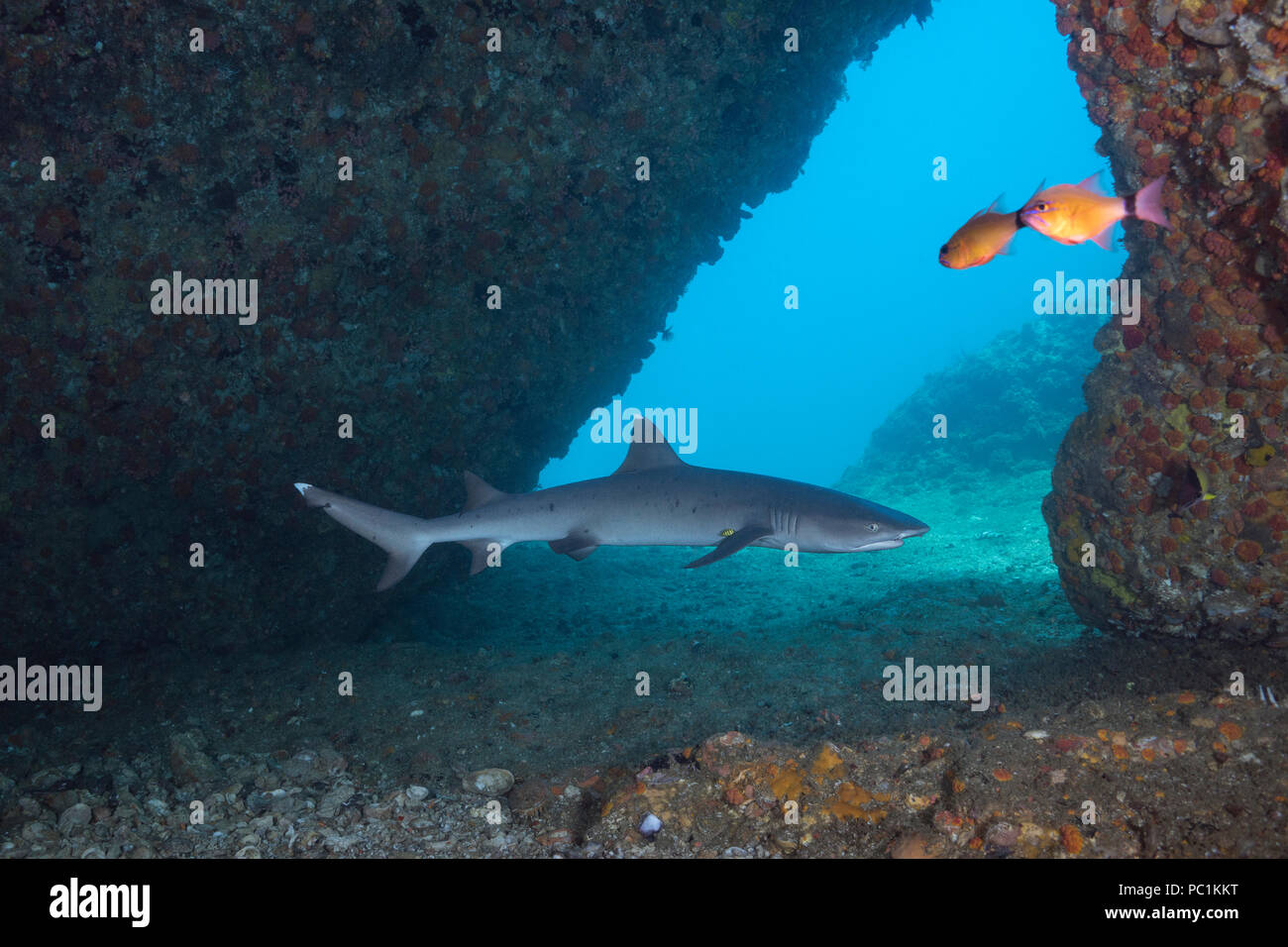 whitetip reef shark, Triaenodon obesus, at mouth of cavern, with small pilot fish next to right pectoral fin, Gato Island, off Malapascua, Cebu, Phili - Stock Image