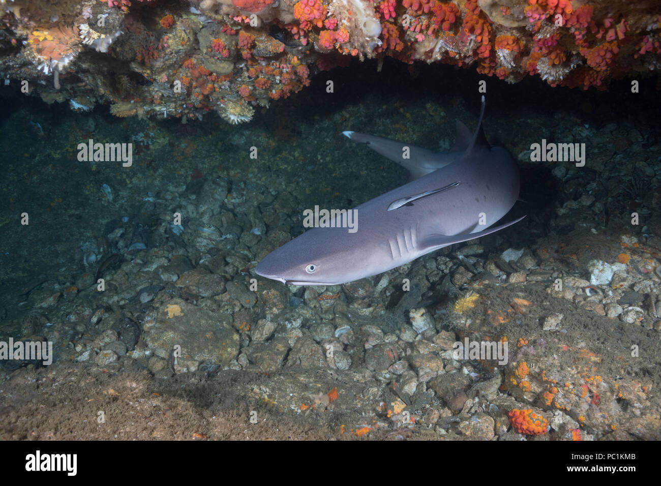 whitetip reef shark, Triaenodon obesus, with small remora or suckerfish attached, under ledge of reef, Gato Island, off Malapascua, Cebu, Philippines  - Stock Image