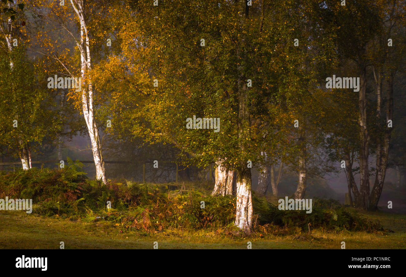 The bright trunks of Silver Birch shine out of the woodland depths.e Stock Photo