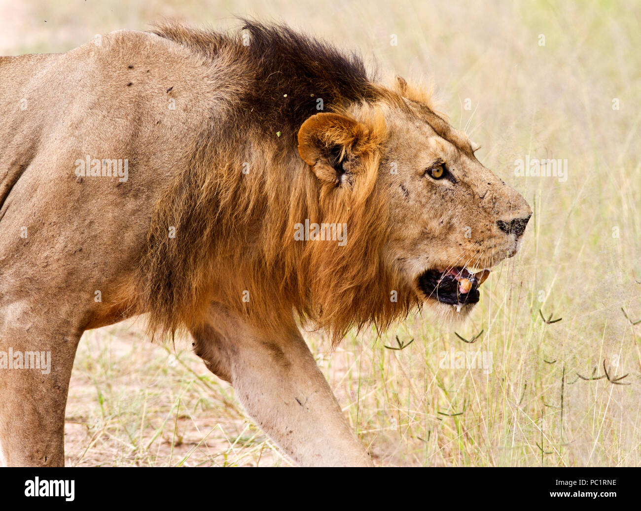 A pide male makes a cautious approach to the rest of his pride after they have fed well from a kill. - Stock Image