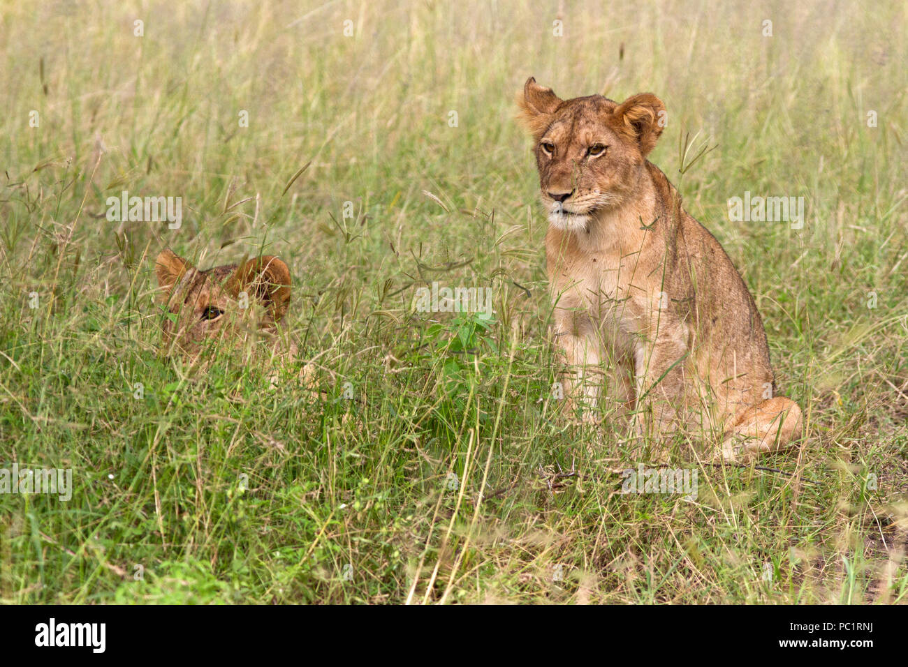 A pair of well-fed lion cubs calmly watch the approach of their fatheras he hoins the feast their mother have helped kill for the pride. - Stock Image