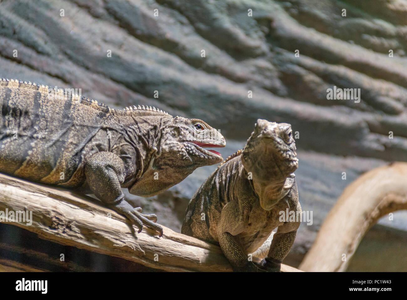 lizards named Cuban rock iguana on tree trunk in stony ground - Stock Image
