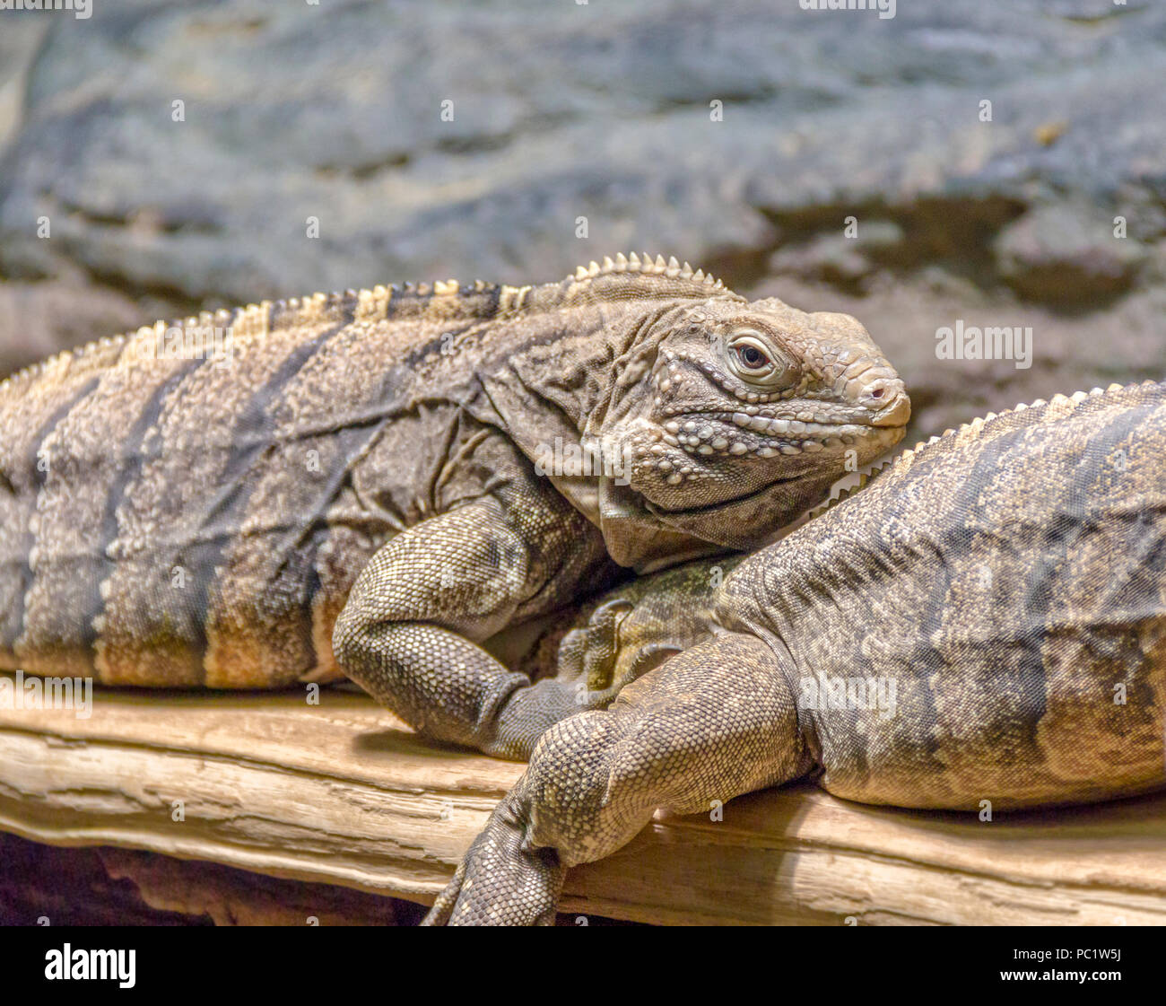 lizards named Cuban rock iguana on a tree trunk in rocky ambiance - Stock Image