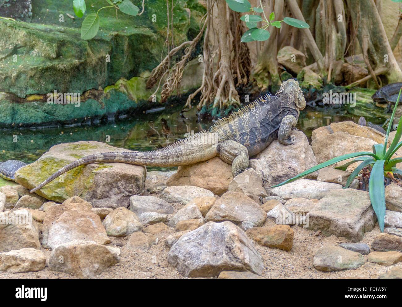 lizard named Cuban rock iguana on stony ground - Stock Image