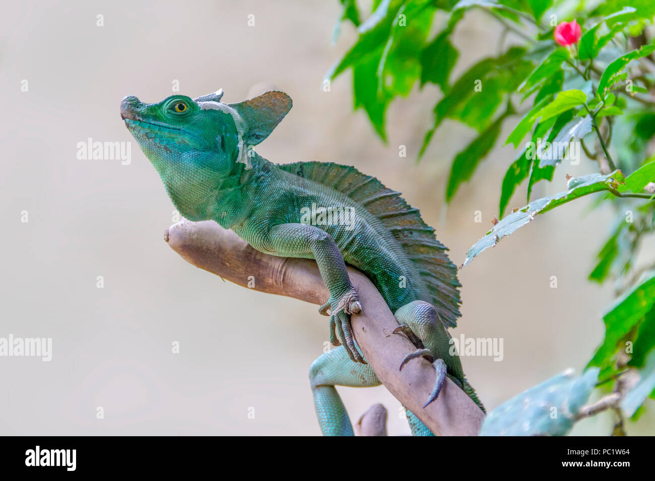 lizard named Plumed basilisk in light back Stock Photo
