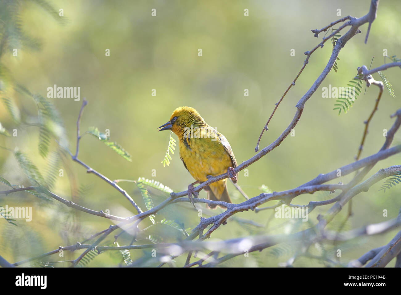 Cape Weaver building nest in Camel Thorn tree Stock Photo