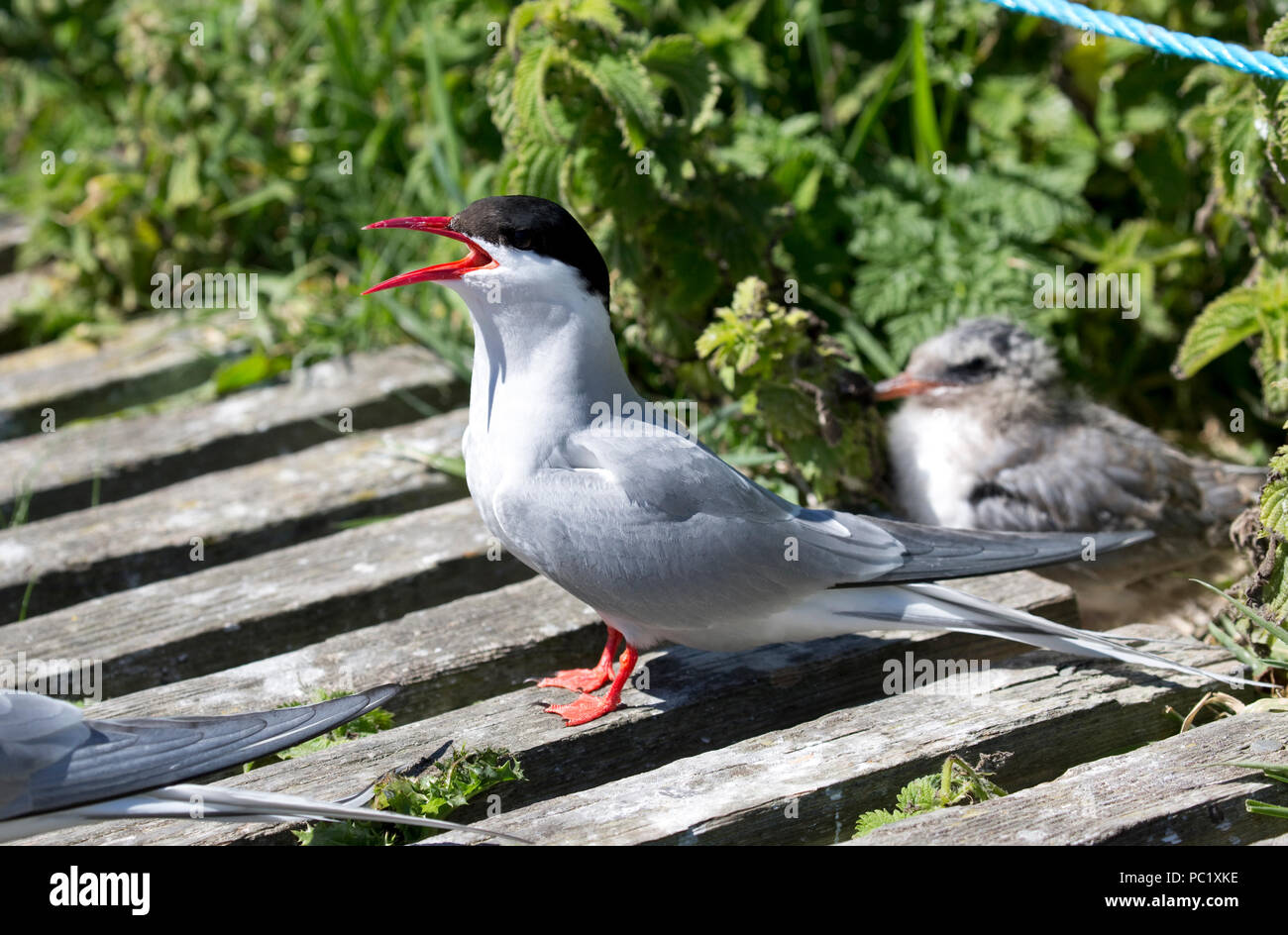 Arctic tern protecting chick - Stock Image