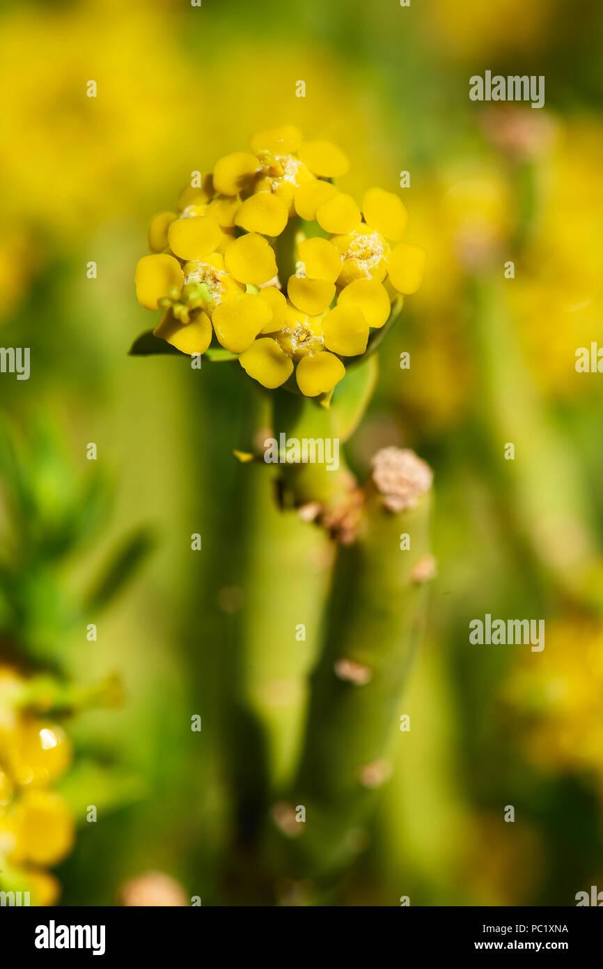 Euphorbia Mauritanica - Pencil Milkbush Stock Photo