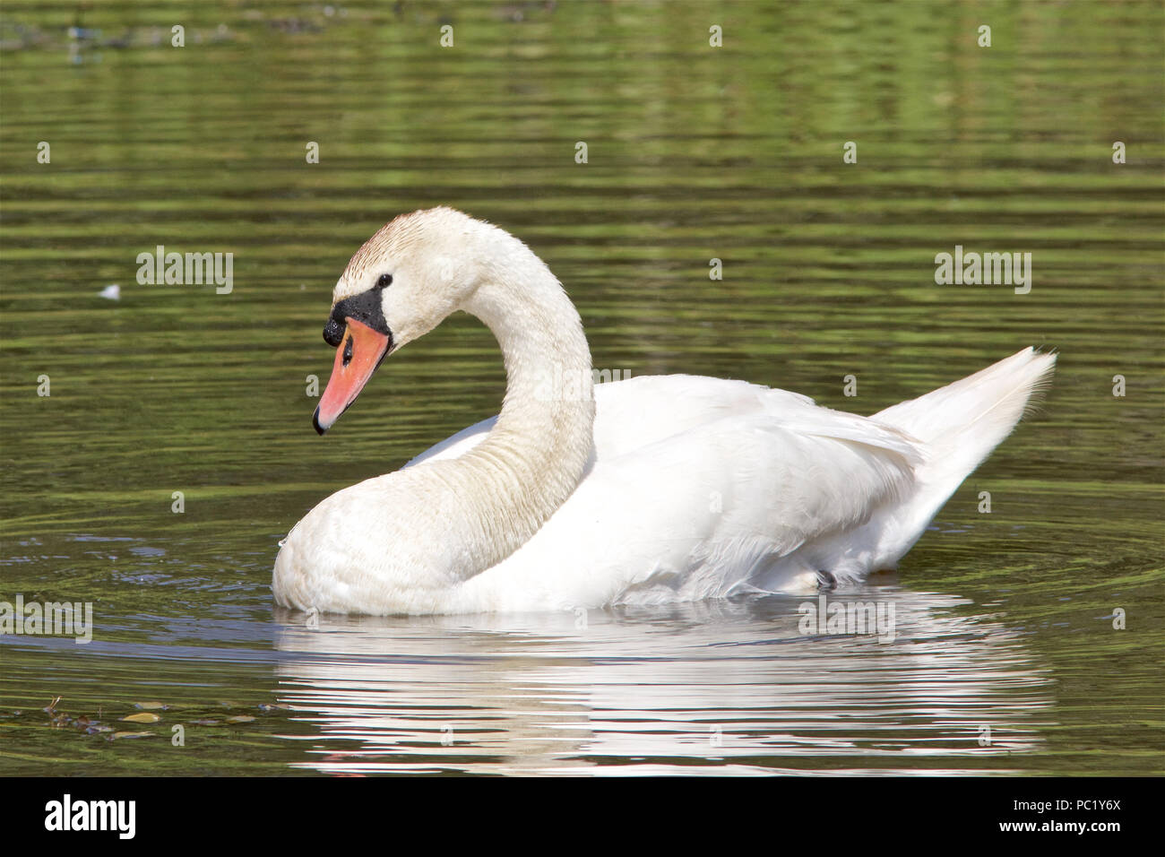 A Mute Swan, Cygnus olor, swimming on a pond. Stock Photo