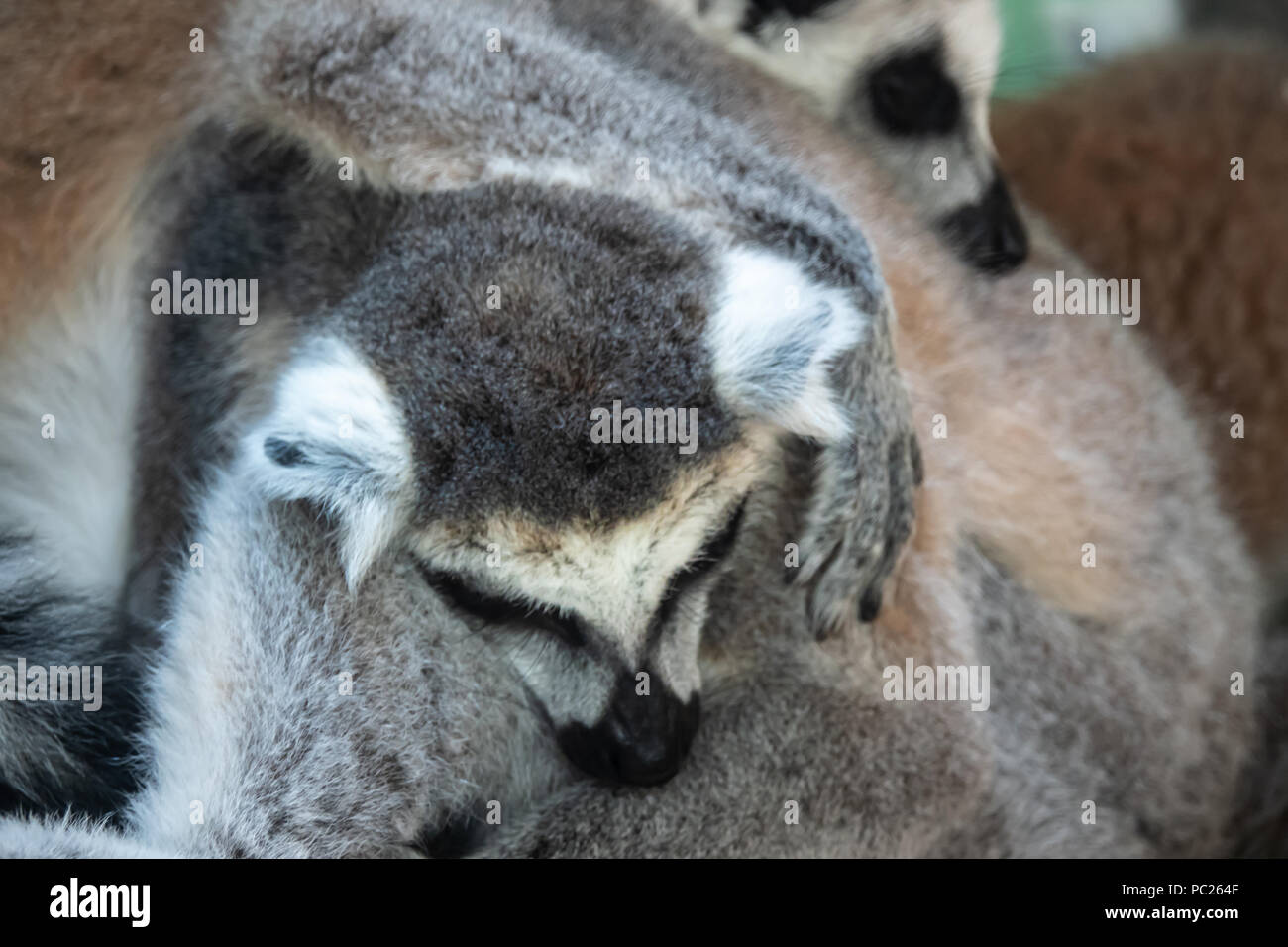Furry mass of ring tailed lemurs huddling on a cool early morning - Stock Image