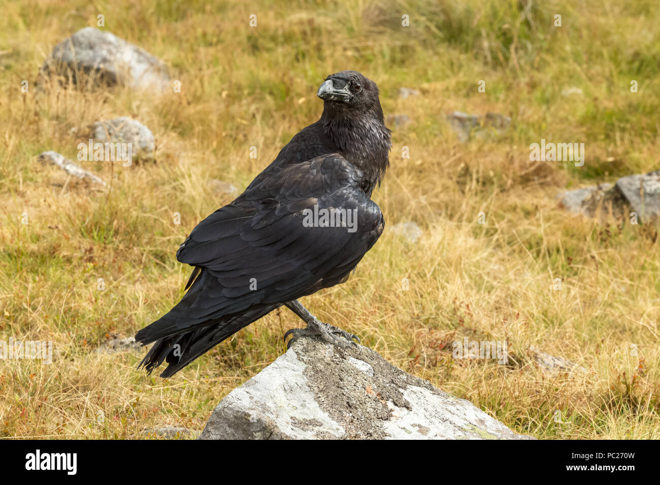 Raven, large black common or Northern Raven, perched on a lichen covered rock.  Scientific name: Corvus corax. Horizontal. - Stock Image