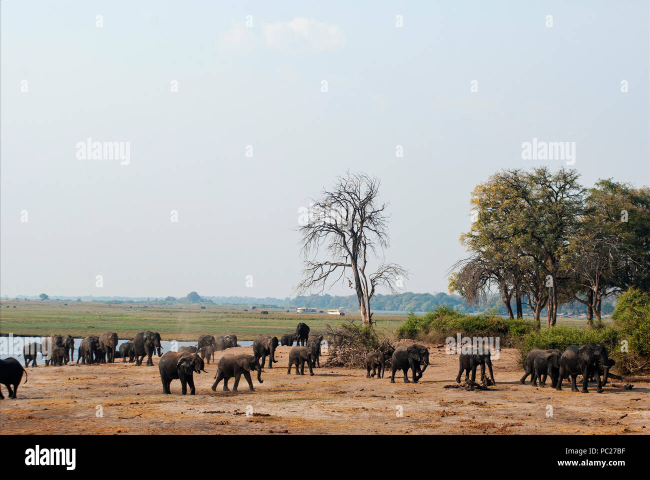 Herd of elephants at the banks of the Chobe river, Cobe National Park, Botswana - Stock Image