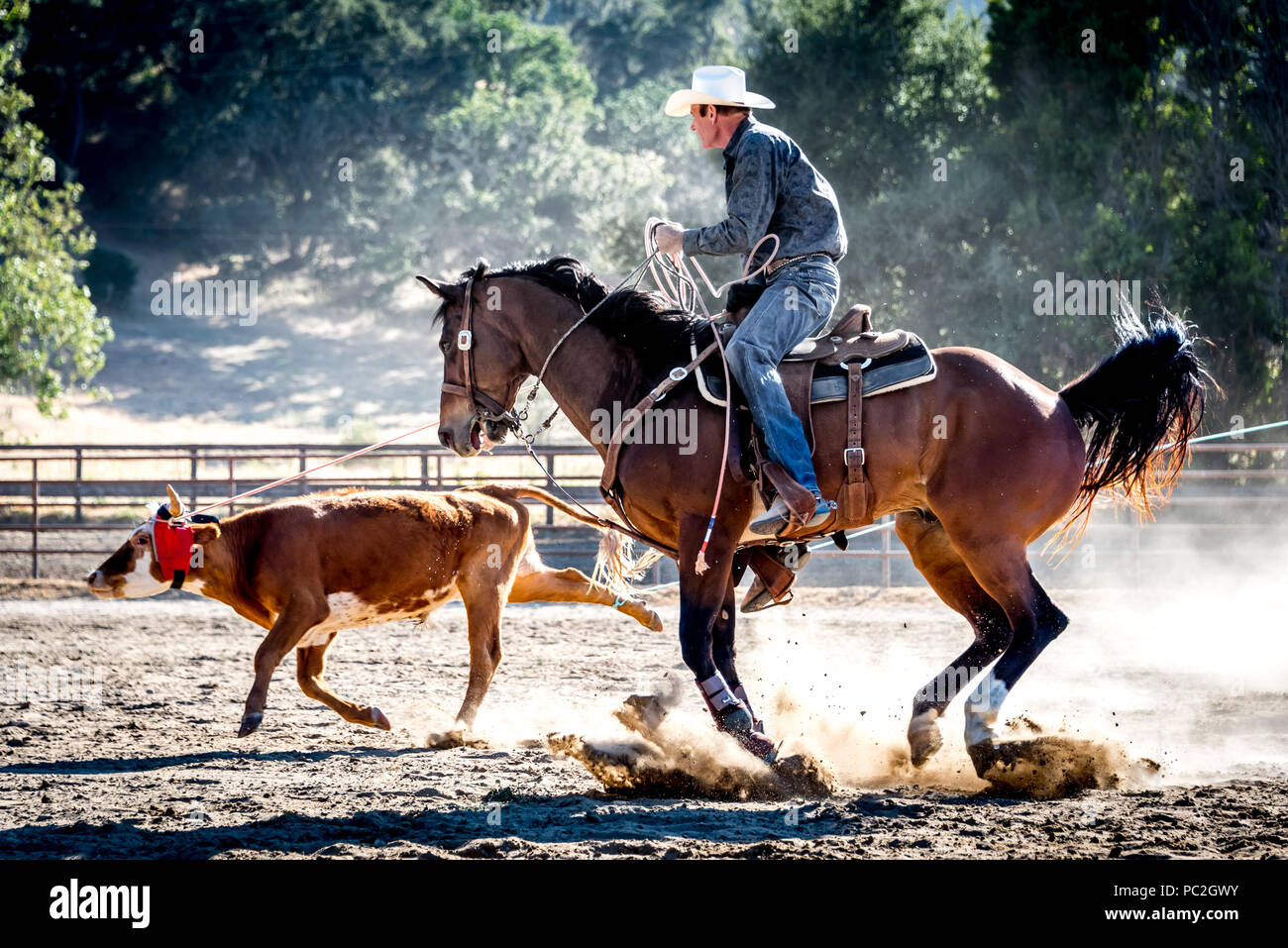 A real life cowboy wrangler with lasso roping young steer in a rodeo event in California, on horseback with cowboy hat in action shot, dust and sun. - Stock Image