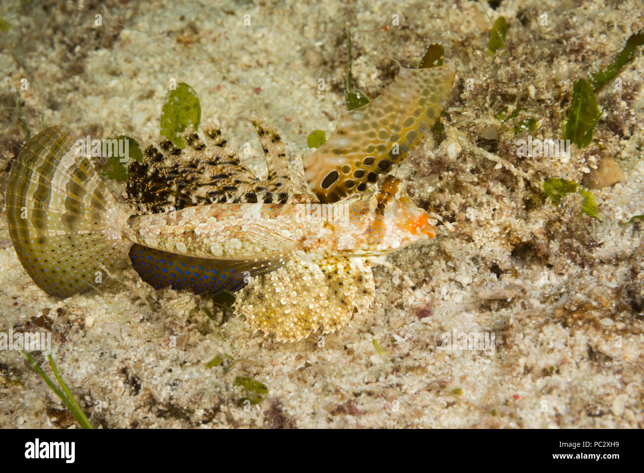 """The fingered dragonet, Dactylopus dactylopus, can be found during the day on open sandy bottoms.  They are often in pairs and will """"walk"""" on the first - Stock Image"""