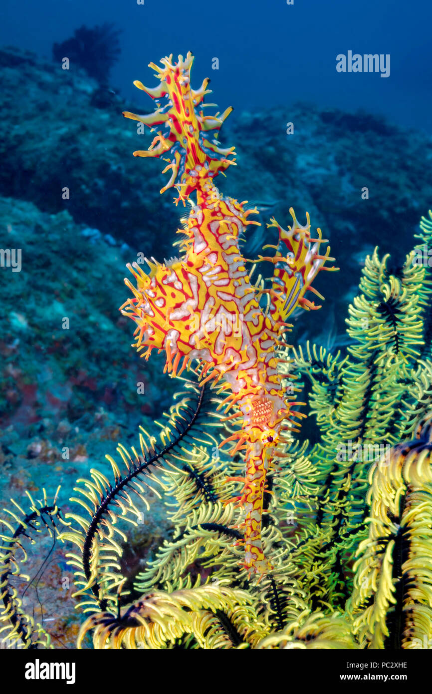 This female ornate ghost pipefish, also known as a harlequin ghost pipefish, Solenostomus paradoxus, is holding it's egg mass in the pouch that is for - Stock Image