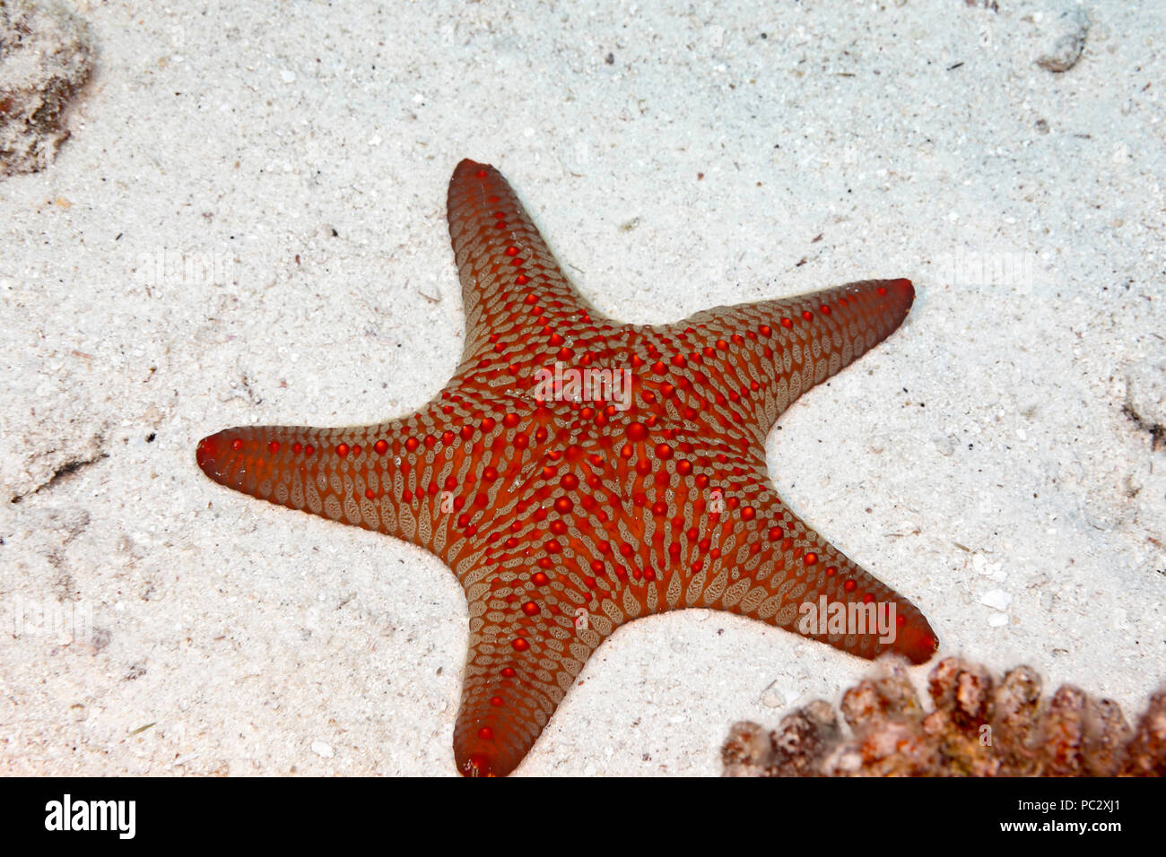 Knobby seastar, Pentaceraster cumingi, also known as a Panamic Cushion Sea Star, is usually found well below 100 feet, Hawaii. - Stock Image