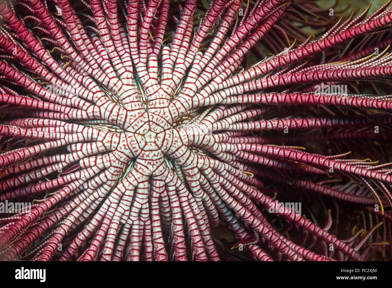 Detail of the center branching arms of a crinoid or feather star, Lamprometra klunzingeri, open and feeding on plankton at night. - Stock Image