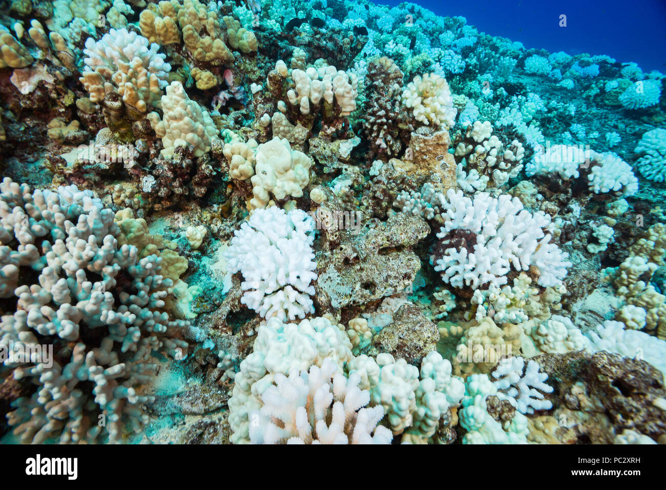 This image, shot in October 2015, shows coral bleaching on a Hawaiian reef. The colonies of cauliflower coral, Pocillopora meandrina, appears to be th - Stock Image
