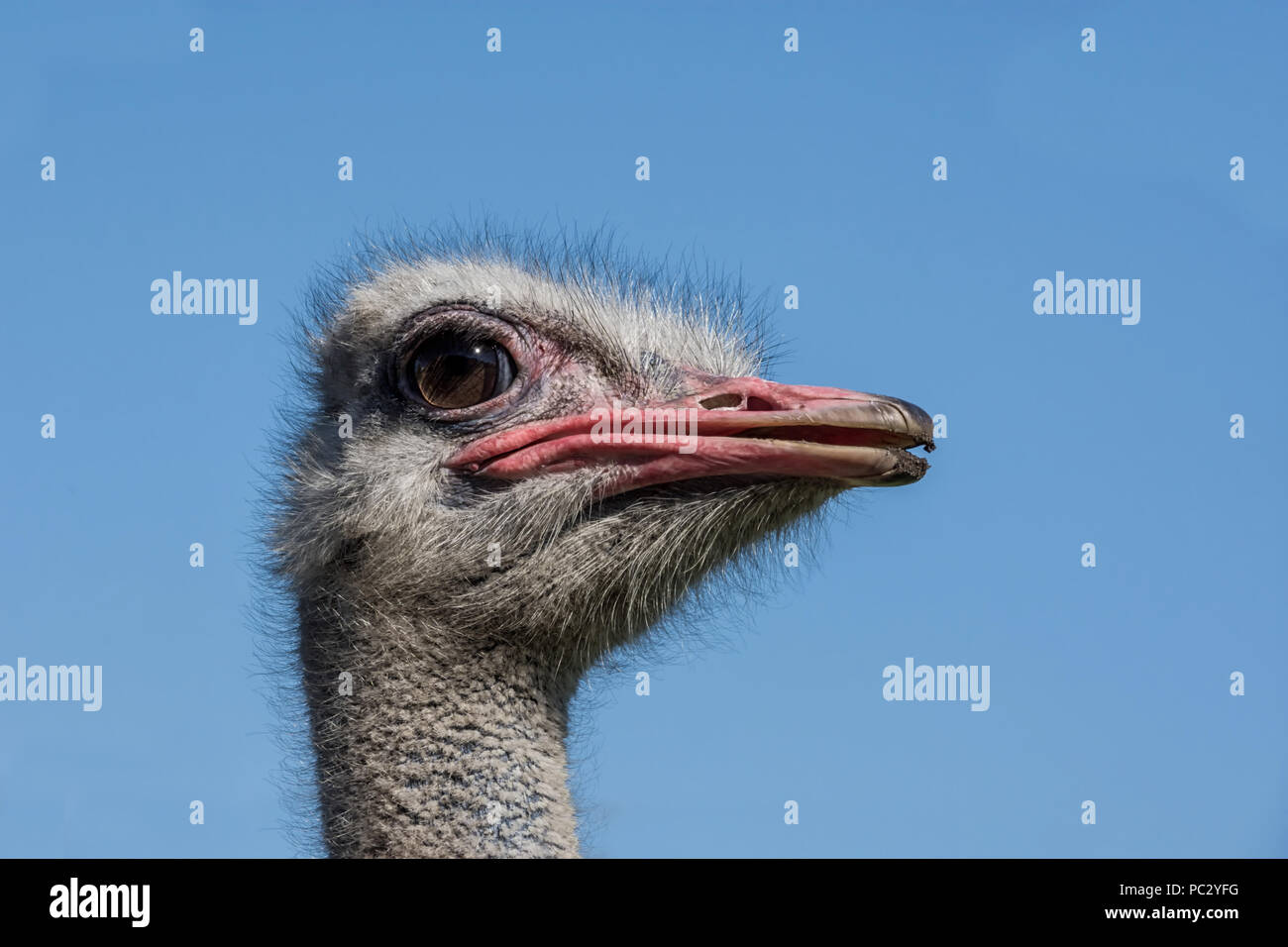 A closeup portrait of an Ostrich head - Stock Image