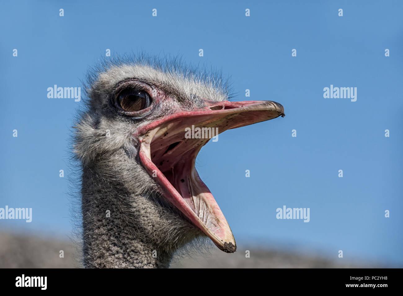 A closeup portrait of an Ostrich head - Stock Image