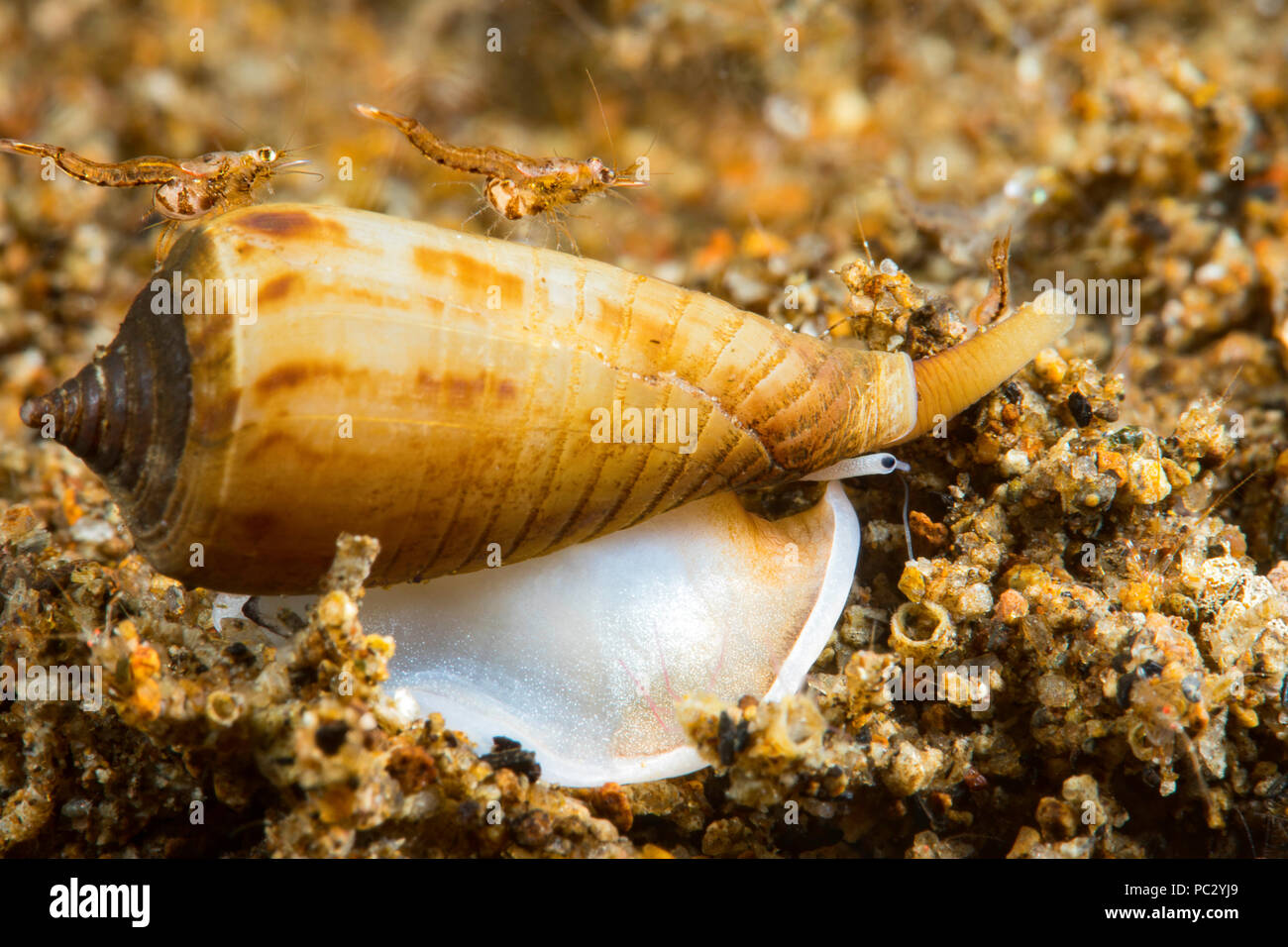 A very small cone shell, Conus sp., cruises across the sand at night with two mysid shrimp hitching a ride.  The size of the grains of sand give you a Stock Photo