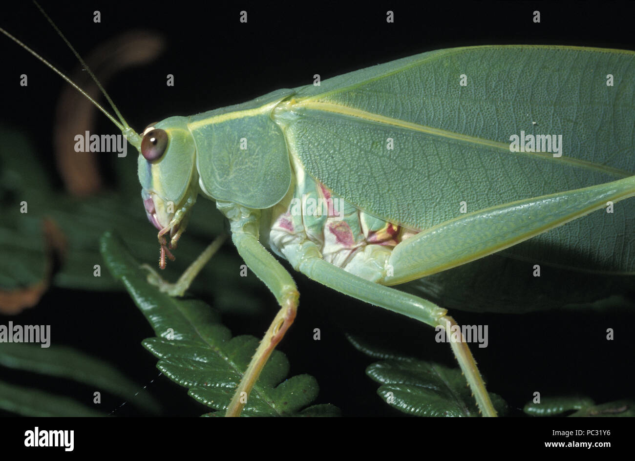 CLOSE-UP OF GUM LEAF KATYDID (ALSO KNOWN AS LONG-HORNED GRASSHOPPER) TETTIGONIIDAE - Stock Image