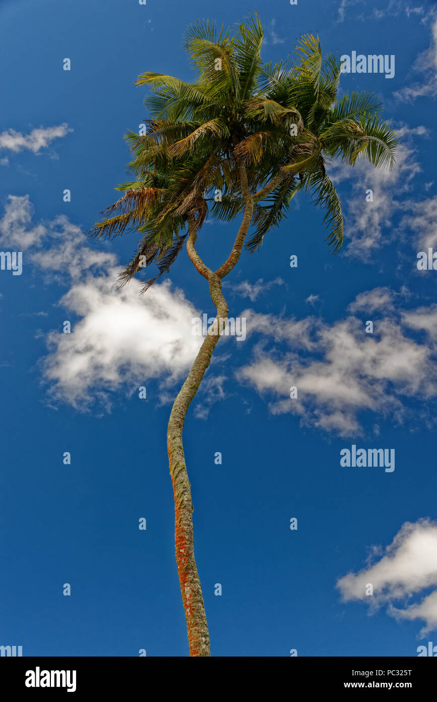 Coconut tree with very long trunk - Stock Image