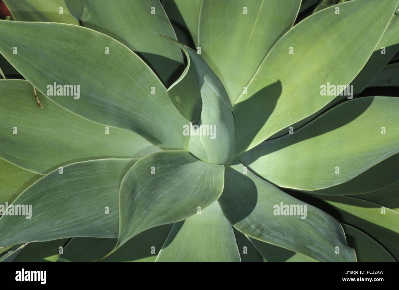 CLOSE UP OF AGAVE ATTENUATA - Stock Image