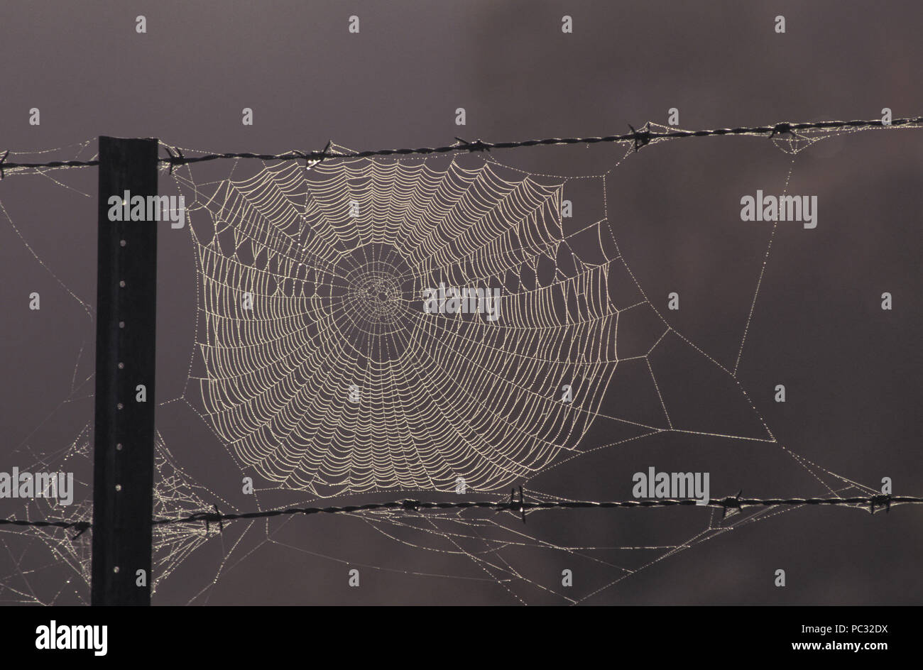 SPIDER WEB ON BARBED WIRE FENCE WITH RAIN DROPS, RURAL NEW SOUTH WALES, AUSTRALIA - Stock Image