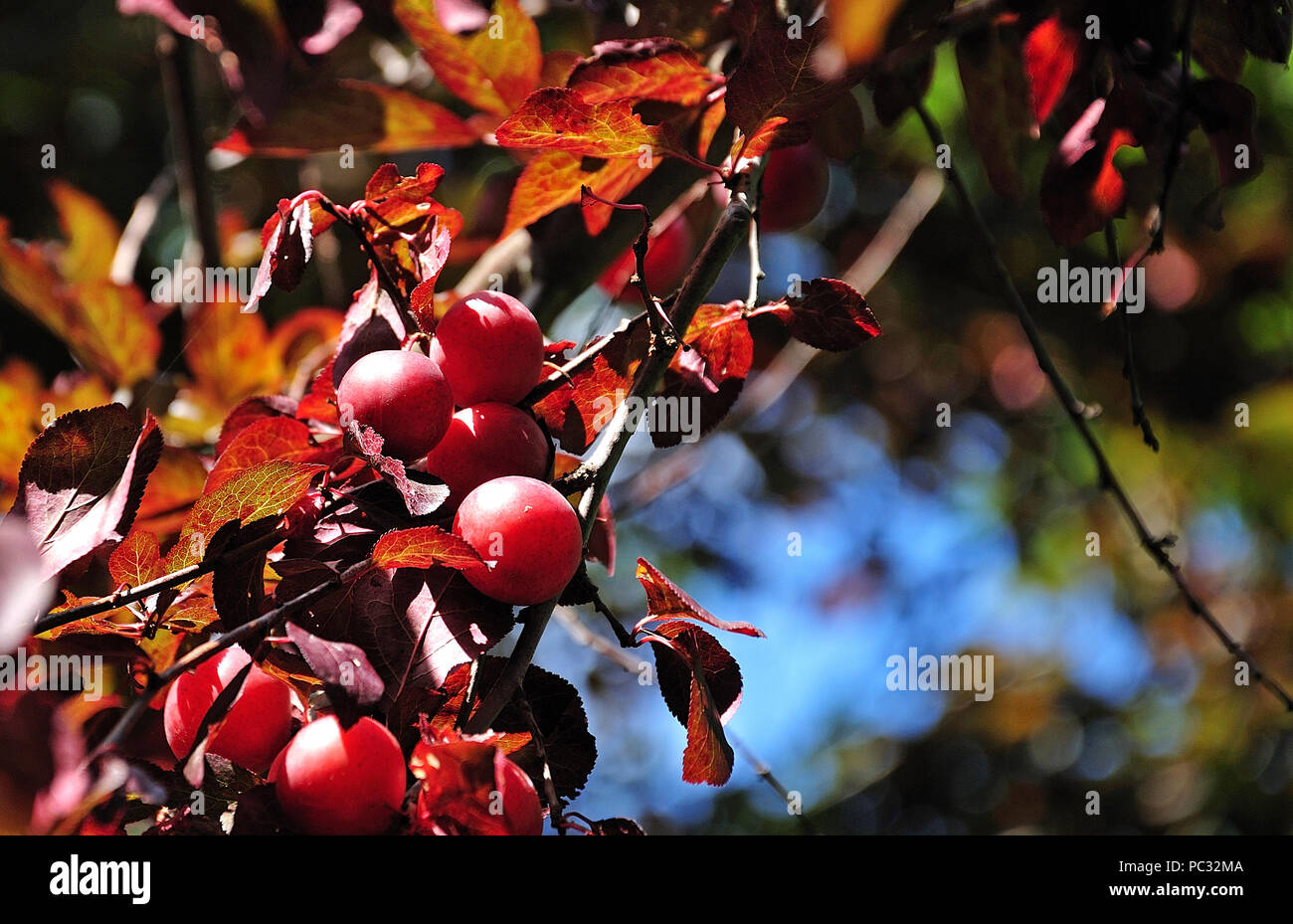 Ripe Fruits Of A Wild Cherry Plum Tree With Red Leaves In Summer