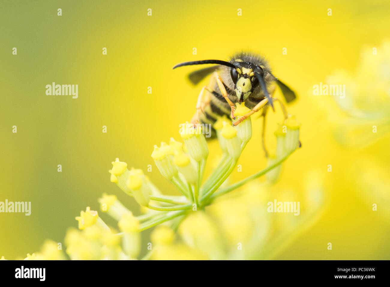 Wasp - tree wasp (Dolichovespula sylvestris) on fennel plant - UK - Stock Image